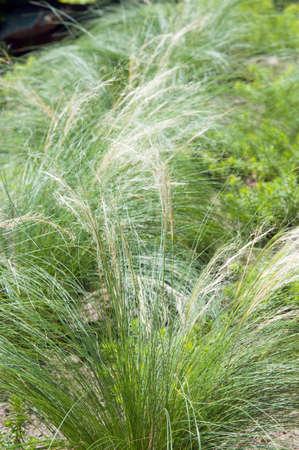 햇볕에 쬐 인 녹색 잔디 Deschampsia의 cespitosa
