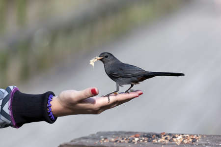 Brewers Blackbird is sitting on female hand and eating photo