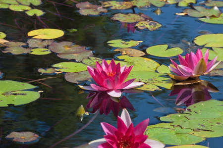 lilypad: Nymphaea nouchali in lake on blue water background