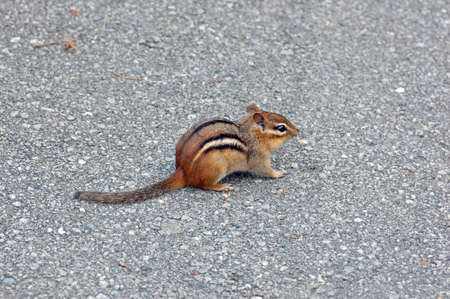Eastern chipmunk  Tamias striatus  closeup  Stock Photo - 13090463