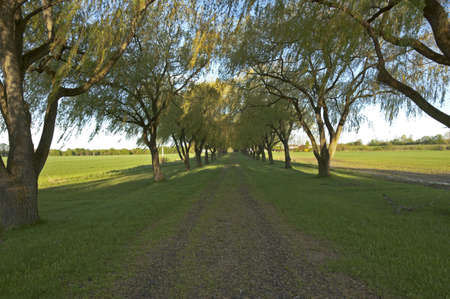 Willow tree alley photo