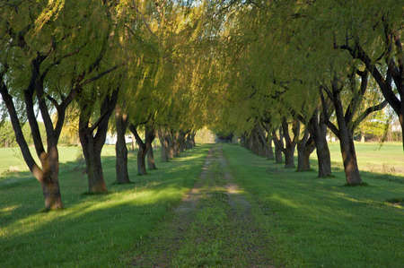 Willow tree alley in spring, morning time