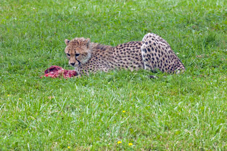 gruesome: Eating cheetah on green background Stock Photo