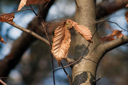 black cherry tree: Black cherry tree and dry leaf. Robinson forest Stock Photo