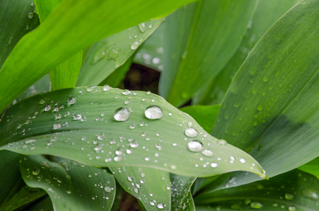 lily-of-the-valley and dew drops on the leaves