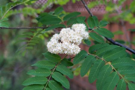 白い花と葉のナナカマド (セイヨウナナカマド) 写真素材