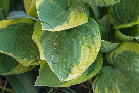 Big Hosta or Funkia leaves in spring garden Stock Photo