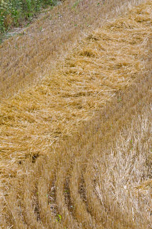 The compressed band on wheat field 写真素材