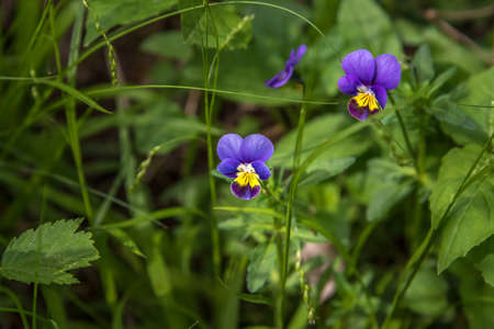 Pansy flowers (Viola tricolor) in Ontario forest
