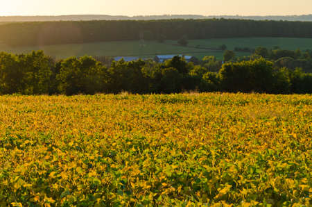 Plant of soybeans in sunlit under blue sky 版權商用圖片