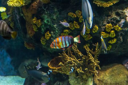 Clownfish, anemonefish, Amphiprioninae) and other fishes on dark background Stock Photo