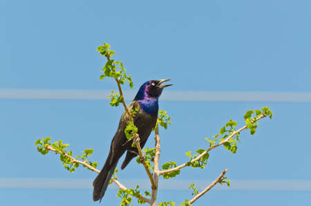 Common Grackle on tree top in spring time Stock Photo