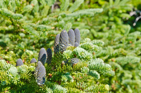 Spruce and fir trees in sunny day in Newfoundland