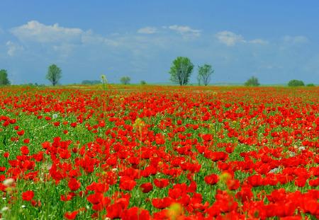 Das papaverous Feld und den blauen Himmel im Hintergrund Standard-Bild - 43207197