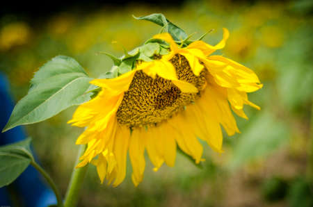Photo of a lonely sunflower in a field with a blurred background Standard-Bild - 161513068