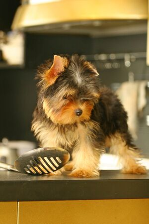 defining: The Yorkshire Terrier is a small dog breed of Terrier type, developed in the 1800s in the historical area of Yorkshire in England. The defining features of the breed are its small size and its silky blue and tan coat. The breed is nicknamed Yorkie and is  Stock Photo