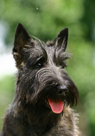 popularly: The Scottish Terrier (also known as the Aberdeen Terrier), popularly called the Scottie, is a breed of dog best known for its distinctive profile and typical terrier personality.