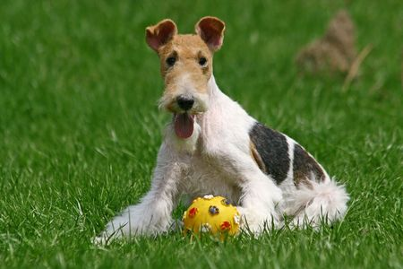 believed: The Wire Fox Terrier is a breed of dog, one of many terrier breeds. It is an instantly recognizable fox terrier breed. Although it bears a resemblance to the Smooth Fox Terrier, they are believed to have been developed separately.