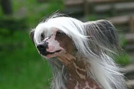 The Chinese Crested Dog is a smaller (10–13 lbs) hairless breed of dog. Like most hairless dog breeds, the Chinese Crested comes in two varieties, both with and without fur, which are born in the same litter: the Hairless and the Powderpuff.