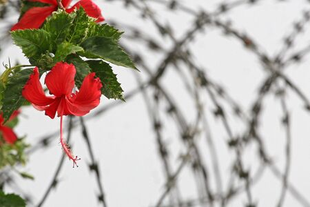 Red flowers are on a barbed wire photo