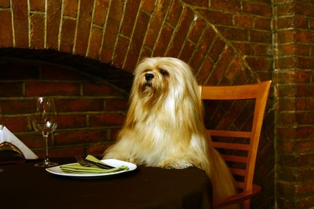 The Lhasa Apso (lha-sah ap-so) is a non-sporting dog breed originating in Tibet. It was bred as an interior sentinel in the Buddhist monasteries, who alerted the monks to any intruders who entered. Lhasa is the capital city of Tibet and apso is a word in