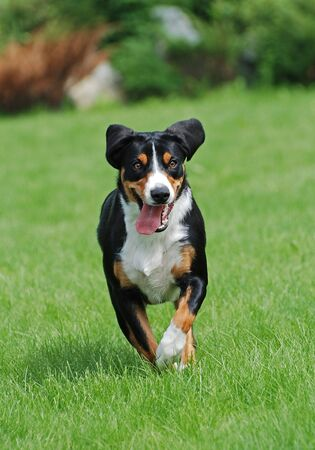 appenzeller: The Appenzeller Sennenhund is a medium-size breed of dog, one of the four regional breeds of Sennenhund-type dogs from the Swiss Alps. The name Sennenhund refers to people called Senn, herders in the Swiss Alps. Appenzell is an alpine region in the northe Stock Photo