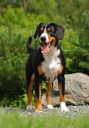 adore: The Appenzeller Sennenhund is a medium-size breed of dog, one of the four regional breeds of Sennenhund-type dogs from the Swiss Alps. The name Sennenhund refers to people called Senn, herders in the Swiss Alps. Appenzell is an alpine region in the northe Stock Photo