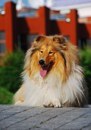 herding dog: A collie is a distinctive type of herding dog, ultimately originating in Britain, especially in the upland areas of the north and west. It is a medium-sized, fairly lightly-built dog with a pointed snout, and many types have a distinctive white pattern ov Stock Photo