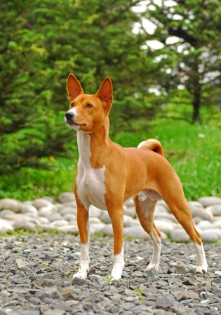 The Basenji is a breed of hunting dog that was bred from stock originating in central Africa. Most of the major kennel clubs in the English-speaking world place the breed in the Hound Group; more specifically, it may be classified as belonging to the sigh