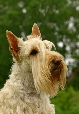 The Scottish Terrier (also known as the Aberdeen Terrier), popularly called the Scottie, is a breed of dog best known for its distinctive profile and typical terrier personality. photo
