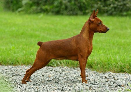 miniature breed: El pinscher miniatura (Zwergpinscher, min PIN) es una raza de perro del tipo Pinscher, desarrollado en Alemania. Miniature Pinschers fueron criados en primer lugar a la caza de animales da�inos, especialmente ratas. Pinscher, como terrier se refiere a los rasgos de comportamientos de la raza un  Foto de archivo