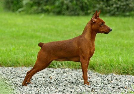 miniature dog: The Miniature Pinscher (Zwergpinscher, Min Pin) is a small breed of dog of the Pinscher type, developed in Germany. Miniature Pinschers were first bred to hunt vermin, especially rats. Pinscher, like terrier refers to the behavioral traits of the breed an