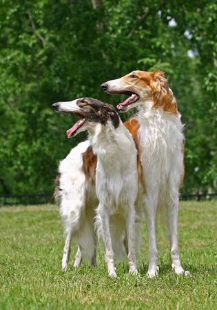 familiaris: The Borzoi  is a breed of domestic dog (Canis lupus familiaris) also called the Russian Wolfhound and brought to Russia from Middle-Asian countries. Having medium-length and slightly curly hair, it is similar in shape to Greyhounds, and is a member of the Stock Photo