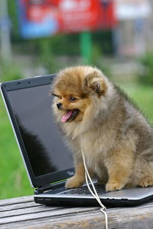 classed: The Pomeranian (often known as a Pom) is a breed of dog of the Spitz type, named for the Pomerania region in Central Europe (today part of eastern Germany and northern Poland) and classed as a toy dog breed because of its small size. As determined by the