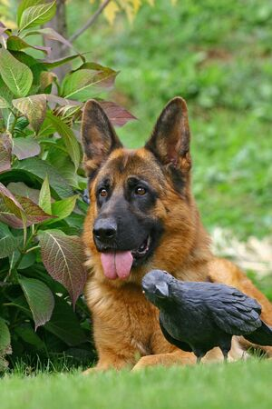 The dog of breed a German shepherd lies in bushes near to toy the black photo