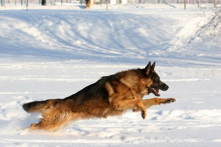 dog running: Dog of breed a German shepherd running in deep snow Stock Photo
