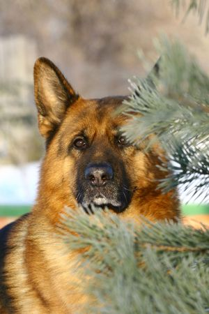 Bright german shepherd dog face photo