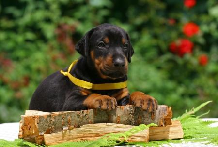 Black dobermann puppy lying on a wooden plate Stock Photo
