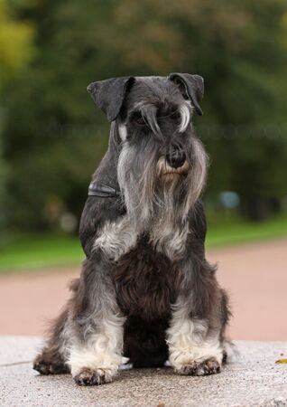 Black-silver zwerg schnauzer sitting on marble plate green background photo