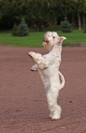 White dog in parck on back legs Stock Photo