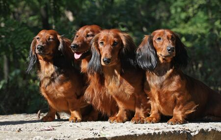 Four red Dachshund dogs sitting together
