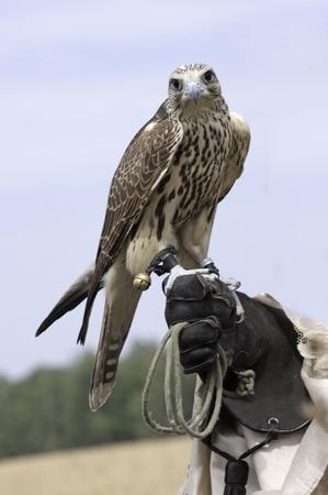 predatory: a falcon on handlers hand