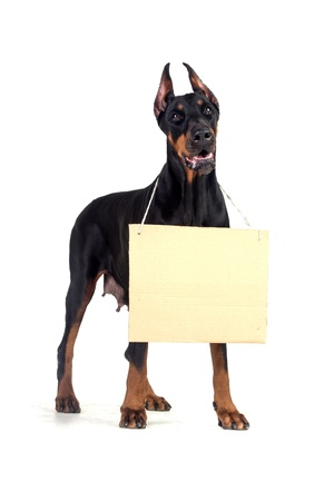 Doberman dog with clear cardboard isolated on white photo