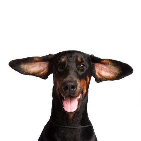 Cute ears of dobermann dog isolated on white photo
