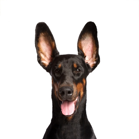 Cute ears of dobermann dog photo