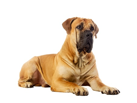 Rare breed South African boerboel posing in studio  Isolated on white Banco de Imagens