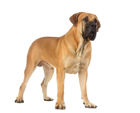 Rare breed South African boerboel posing in studio  Isolated on white Banque d'images