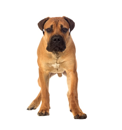 boerboel dog: Rare breed South African boerboel posing in studio  Isolated on white Stock Photo