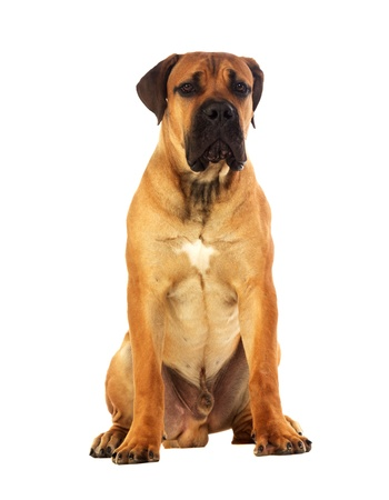 Rare breed South African boerboel posing in studio  Isolated on white Zdjęcie Seryjne