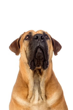 South african mastiff, isolated on white photo